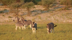 Plains Zebra interaction Stock Footage