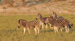 Plains Zebras walking in natural habitat - stock footage