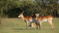 Playful red lechwe antelopes in natural habitat, southern Africa Stock Footage