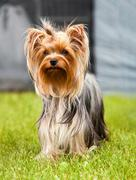 Walking in the big city - yorkshire terrier portrait Stock Photos