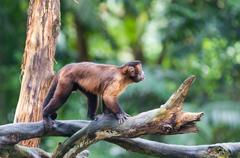 tufted capuchin - stock photo