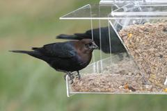 male cowbird on a feeder - stock photo