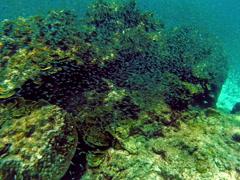 Man diving in coral reef .School of fish. Underwater scene. - stock footage