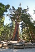 Grizzly giant sequoia in mariposa grove, yosemite Stock Photos