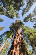 Sequoias in mariposa grove, yosemite national park Stock Photos