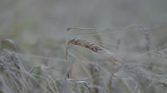 Ear in the field of a mature rye on a wind. - stock footage