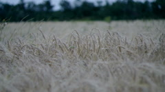 Landscape a field of a rye in the evening. - stock footage