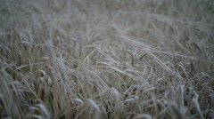 Low rye in the field in the evening. - stock footage