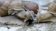 Three snails communicate. - stock footage