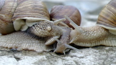 The younger snail hides from seniors. - stock footage