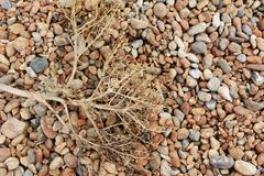 Dead sea kale on a shingle beach Stock Photos