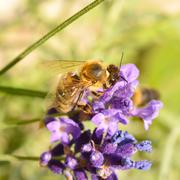 Honeybee pollinating lavender - stock photo
