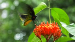 Male green birdwing butterfly Stock Footage