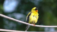 American Goldfinch bird close up - stock footage