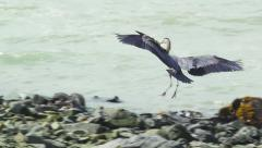 Blue Heron Taking Flight from Rocky Shore zoom in Stock Footage