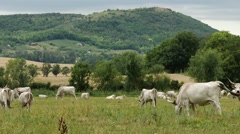 4K Hungarian Grey Cattles in Kali Basin Hungary 2 Stock Footage