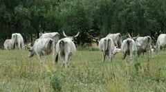 4K Hungarian Grey Cattles in Kali Basin Hungary 4 Stock Footage