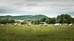 4K Hungarian Grey Cattles in Kali Basin Hungary 5 stylized Stock Footage