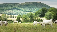 4K Hungarian Grey Cattles in Kali Basin Hungary 6 stylized Stock Footage