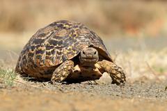 Close-up of Leopard tortoise walking - stock photo