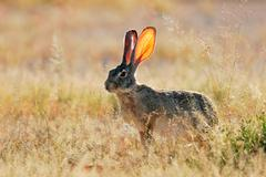 Scrub hare (Lepus saxatilis) among grass - stock photo