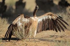 White-backed vulture sitting with open wings Stock Photos