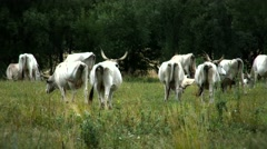 4K Hungarian Grey Cattles in Kali Basin Hungary 8 stylized Stock Footage