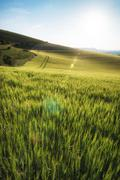 Beautiful landscape wheat field in bright summer sunlight evening with added Stock Photos