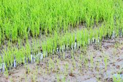 rice field green color - stock photo