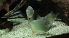 Fish in aquarium. Metynnis hypsauchen and myleus rubripinnis - stock footage