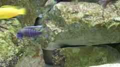 Small fish in aquarium - Labidochromis caeruleus and aulonocara baenschi Stock Footage