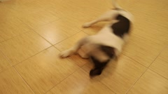 Laughable Puppy Fooling, Wagging Tail and Rolling on the Back. Stock Footage