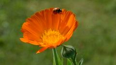 Beautiful ladybird ladybug on calendula marigold medical flower blossom Stock Footage
