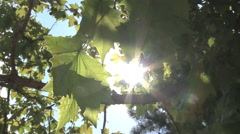 PLANETREE LEAFS AGAINST THE SUN Stock Footage