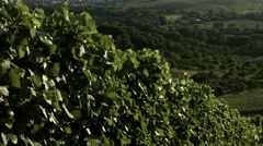 Rows of vine plants growing along a service road in the vineyard Stock Footage
