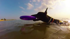 Doberman dog playing with toy in sea Stock Footage