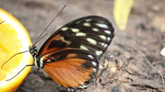 Butterfly feeding with orange juice close up Stock Footage