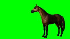 Brown horse standing idle on green screen - stock footage