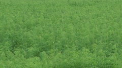 Hemp, Cannabis field in summer breeze - full screen + zoom out Stock Footage