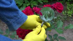 Gardener  with magnifier looking  rose buds. Greenfly protection problem Stock Footage