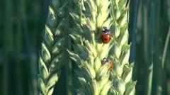 Beautiful  ladybird ladybugs on wheat ears Stock Footage