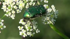 Stock Video Footage of beautiful  bug beetle chafer Cetonia aurata