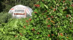 Blossoming beans and greenhouse hothouse in garden Stock Footage