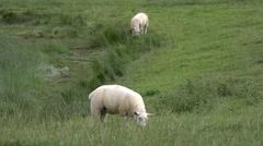 Lambs grazing on grass in field Stock Footage