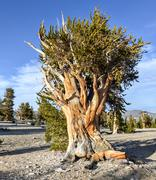 ancient bristlecone pine forest - stock photo