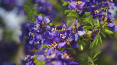 Honey Bee in Purple Flowers Polination Stock Footage