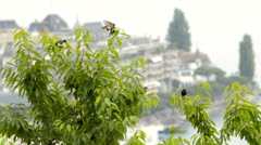 Blackbirds in a tree Stock Footage