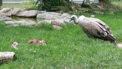 The Griffon Vulture (Gyps fulvus) 1 Stock Footage