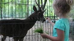 Stock Video Footage of Little girl feeds a Timor deer (Cervus timorensis) in zoo
