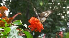 Female green priamus birdwing butterfly Stock Footage